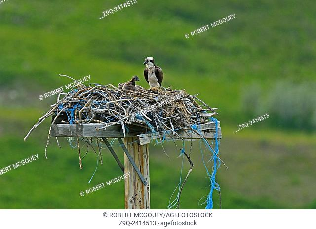A mother Osprey Pandion haliaetus, with a chick in her nest made of twigs and sticks along with some blue baling twine in rural Alberta Canada