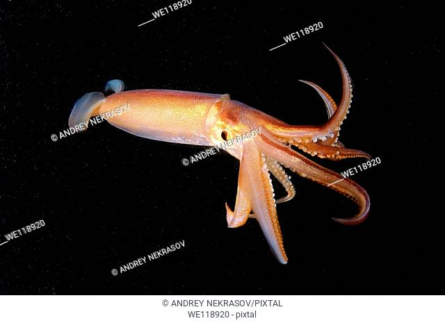 Japanese common squid or Japanese flying squid Todarodes pacificus Japan sea, Far East, Primorsky Krai, Russian Federation