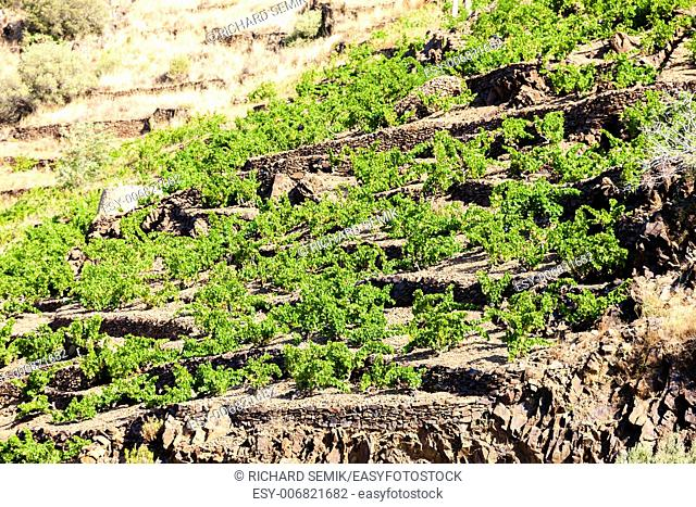 vineyard on Cote Vermeille near Port-Vendres, Languedoc-Roussillon, France