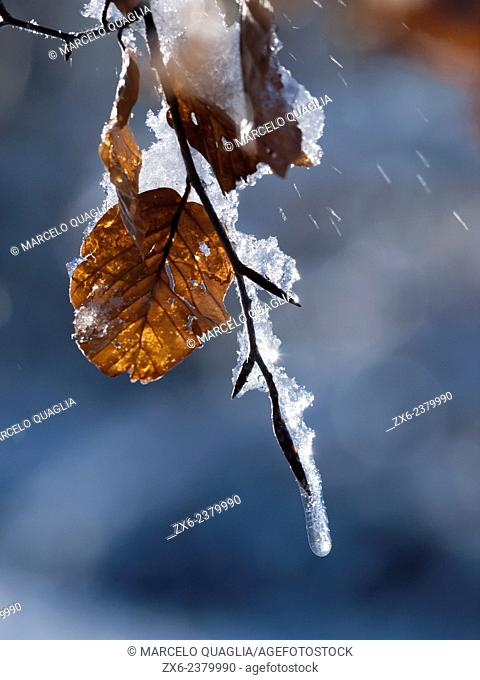 Melting icy snow on Beech leaf. Montseny Natural Park. Barcelona province, Catalonia, Spain