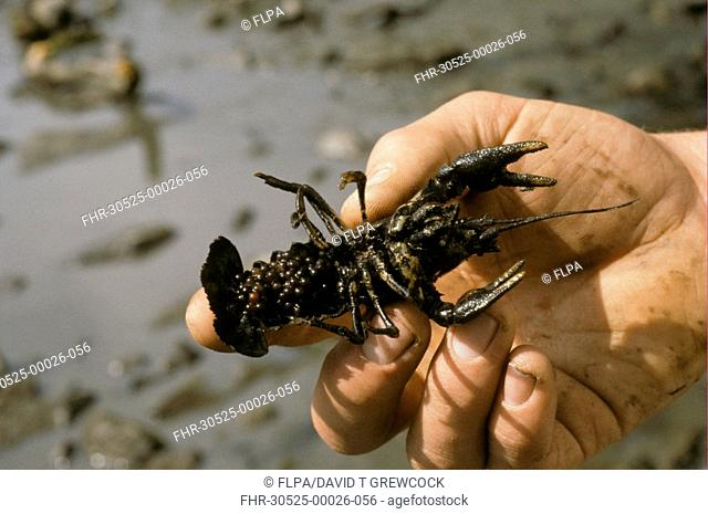 Atlantic Stream Crayfish Astacus pallipes Female with eggs being held - Bradgate, Leicestershire, England