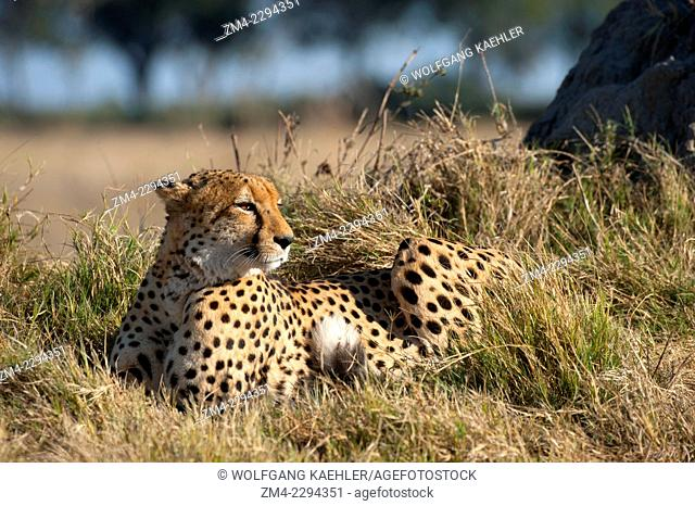 A Cheetah (Acinonyx jubatus) laying in grass in the Chitabe area of the Okavango Delta in the northern part of Botswana