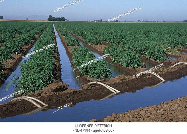 Tomato plantation on rural landscape, Stockton, California, USA