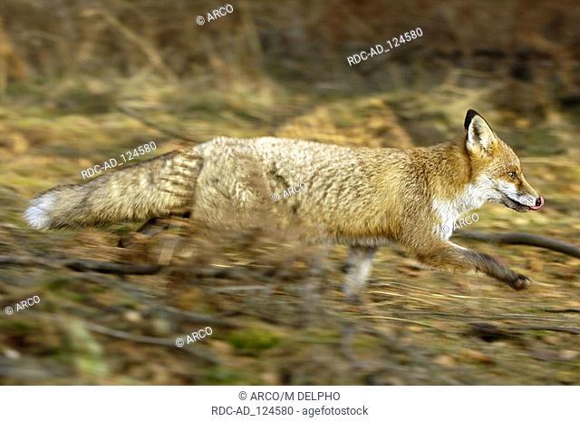 Red Fox Hessen Germany Vulpes vulpes side