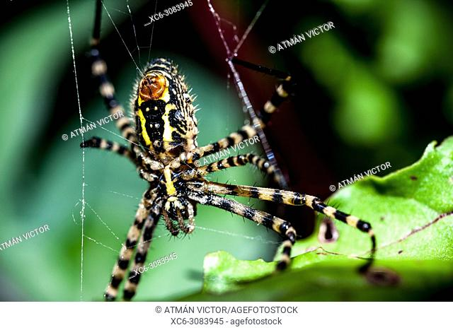 Argiope trifasciata spider from Tenerife island