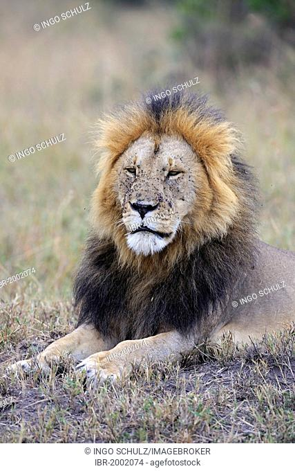 Lion (Panthera leo), old male, portrait, Maasai Mara National Reserve, Kenya, eastern Africa, Africa