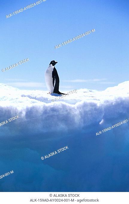 Adelie Penguin on Iceberg Portrait Antarctica