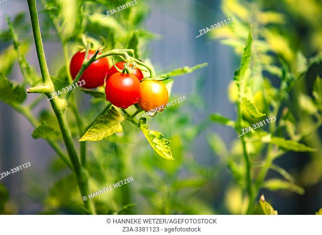 Closeup of fresh tomatoes in a garden