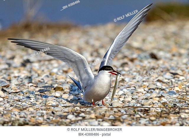 Common tern (Sterna hirundo) with fish, Texel, West Frisian Islands, Netherlands