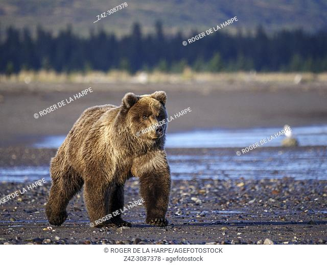 Coastal brown bear, also known as Grizzly Bear (Ursus Arctos). South Central Alaska. United States of America (USA)