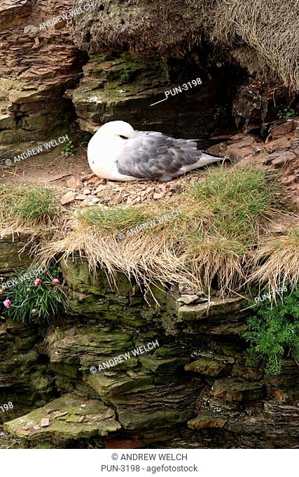 Fulmar Fulmarus glacialis nesting on cliffs at Duncansby Head