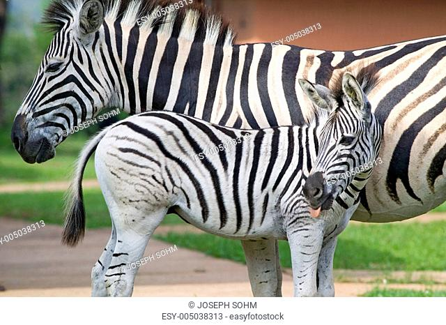 Mother and baby Zebra standing in front of house in Umfolozi Game Reserve, South Africa, established in 1897