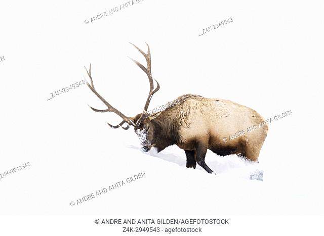Elk (Cervus elaphus) bull, foraging and digging in winter snow, Yellowstone National Park, Montana, Wyoming, USA