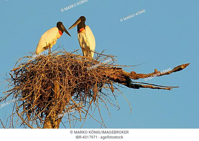 Jabiru (Jabiru mycteria), pair in nest, Pantanal, Mato Grosso, Brazil