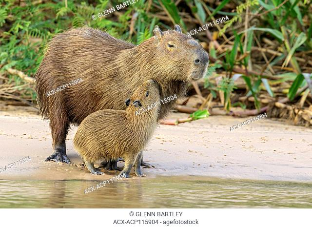 Capybara near a river in the Pantanal region of Brazil