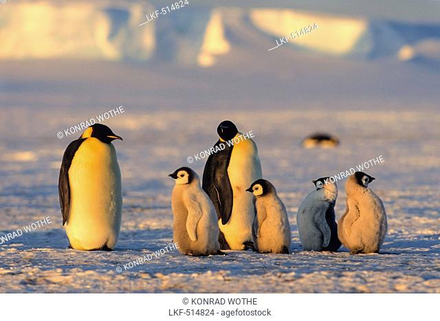 Emperor Penguins with chicks at sunset, Aptenodytes forsteri, iceshelf, Weddell Sea, Antarctic