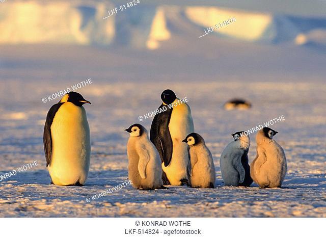Emperor Penguins with chicks at sunset, Aptenodytes forsteri, iceshelf, Weddell Sea, Antarctic
