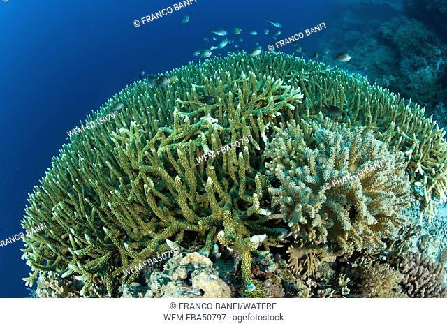 hard coral colonies, Acropora robusta, Menjangan, Bali Island, Indonesia