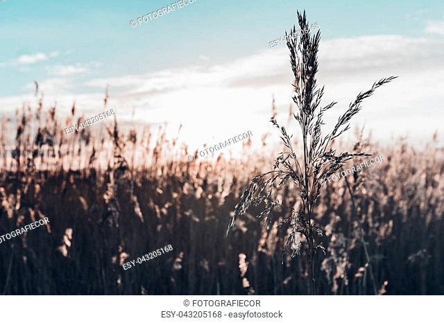 Single flowering reed grass plume, selective focus with sunny background