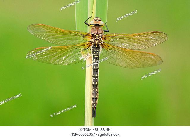 resting Hairy Dragonfly (Brachytron pratense), the Netherlands, Overijssel, Kalenberg, Weerribben
