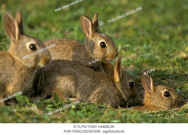 European Rabbit Oryctolagus cuniculus Four young, North Uist, Hebrides, Scotland
