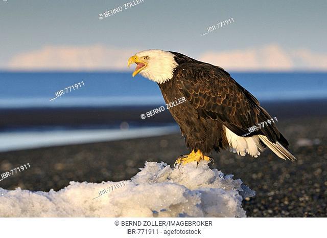 Bald Eagle (Haliaeetus leucocephalus) calling out in the morning's first light, Kenai Peninsula, Alaska, USA