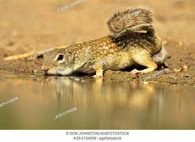 Mexican ground squirrel (Ictidomys mexicanus), Rio Grande City, Texas, USA
