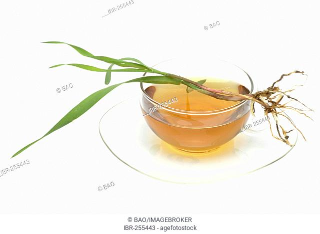 Herb tea made of Common Couch, Couch grass, Twitch grass, Quick grass, Agropyron repens