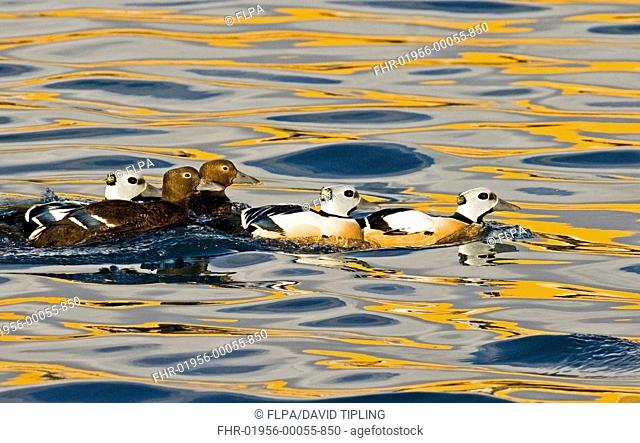 Steller's Eider Polysticta stelleri adult males and females, swimming at sea, Varanger Fjord, Norway, march
