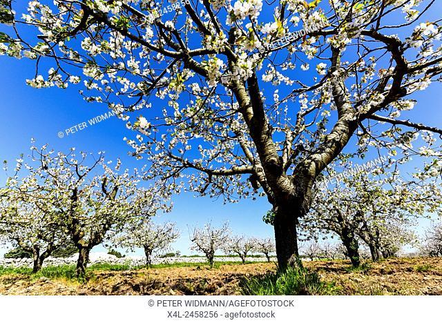 Cherry Blossom, Apulia, Italy