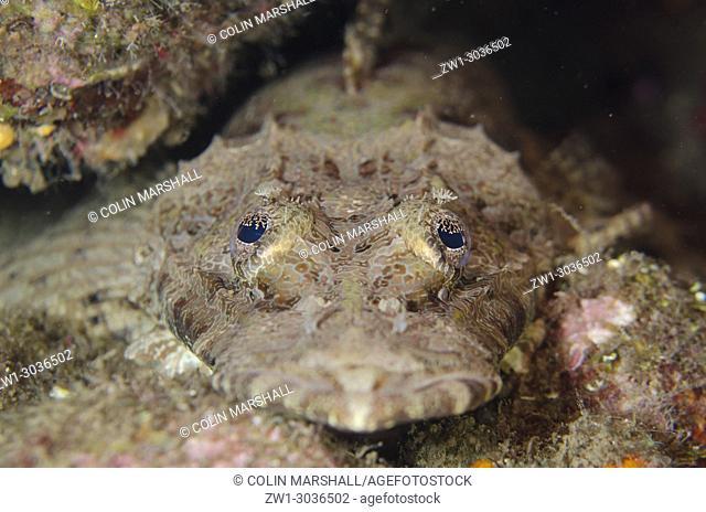 Crocodile Flathead (Cymbacephalus beauforti), Maulana Jetty dive site, Bandanaira, Maluku (Moluccas), Banda Sea, Indonesia
