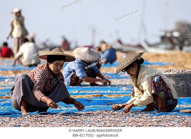 Local women wearing straw hats and Thanaka paste on their faces, sorting through fish out to dry on blue nets on the beach of the fishing village Ngapali