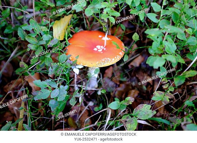 Mushroom (Amanita muscaria), Piedmont, Italy