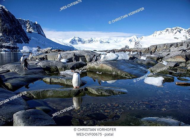 Antarctic, Antarctic Peninsula, Gentoo penguins, Pygoscelis papua
