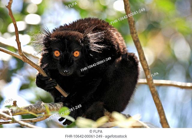 Black Lemur Lemur macaco adult male in tree, close-up, Nosy Komba, Madagascar