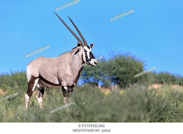 Botswana, Kalahari, Kgalagadi Transfrontier Park, gemsbok