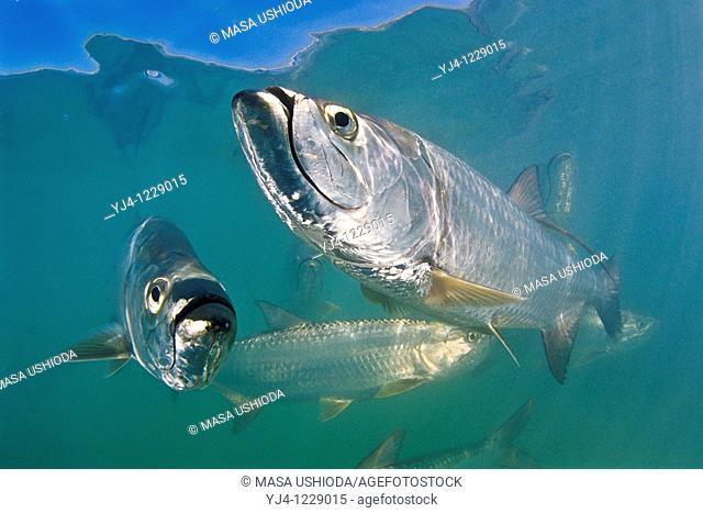 Atlantic tarpons, Megalops atlanticus, grow up to 2 m 6 6 ft in length and could weigh 160 kg 350 lb, Islamorada, Florida Keys National Marine Sanctuary, USA