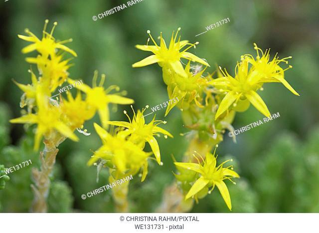 Yellow Mossy Stonecrop macro, June in Varmland, Sweden
