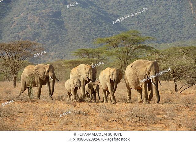 African Bush Elephant (Loxodonta africana) adult females and calves, herd walking in arid habitat, Shaba National Reserve, Kenya, October