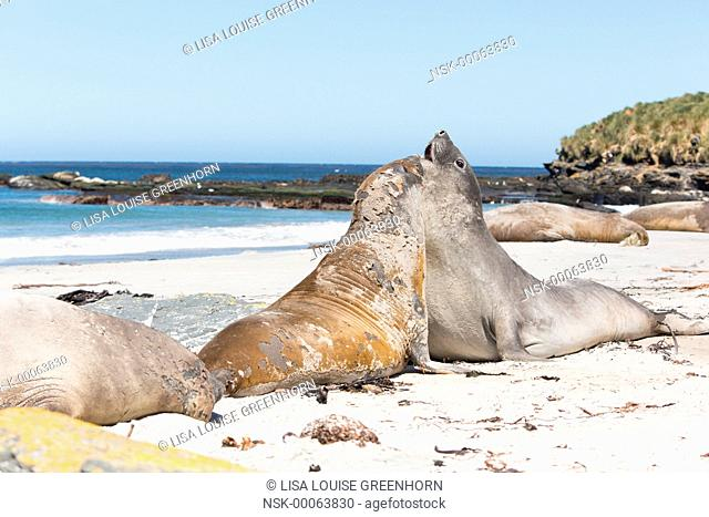 Elephant Seal (Mirounga leonina) young displaying dominance and fighting on a beach, Falkland Islands, Sea Lion Island