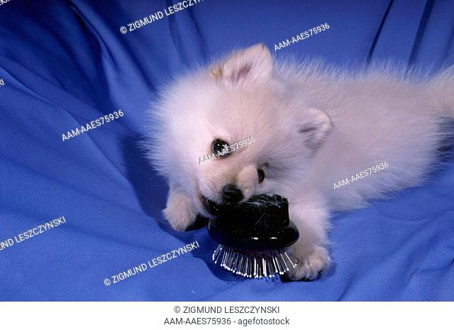 Pomeranian Puppy with Hairbrush