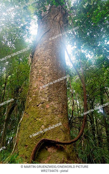 New Zealand, Northland, Kaihu, Trounson Kauri Park, huge tree in Trounson Kauri Park