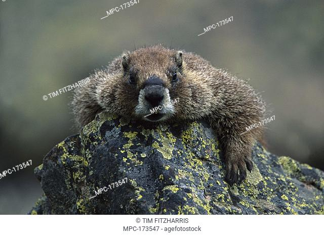 Yellow-bellied Marmot Marmota flaviventris, resting on rock looking at camera, North America
