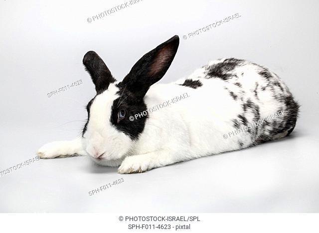 Black and white pet rabbit on white