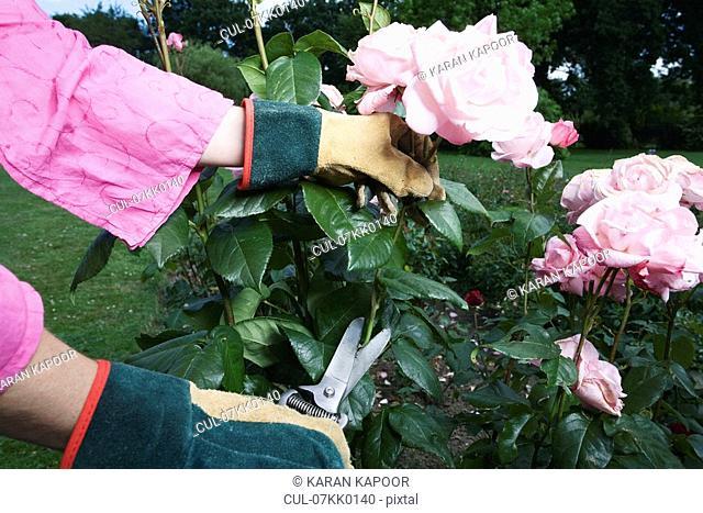 Women pruning roses