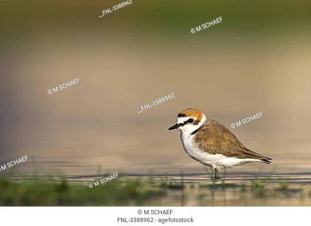 Kentish Plover Charadrius alexandrinus standing in shallow water, side view