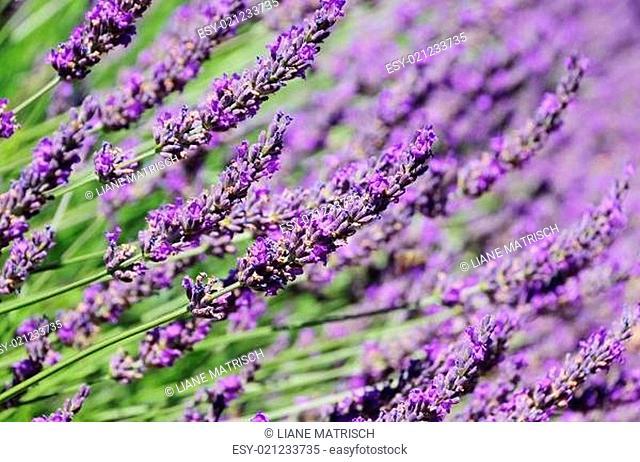 Lavendelfeld - lavender field 55