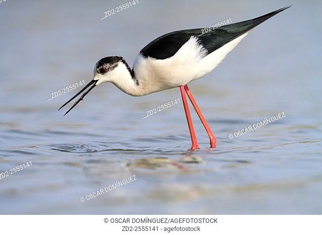 Black-winged Stilt (Himantopus himantopus) foraging in shallow water. Ivars Lake. Lleida province. Catalonia. Spain