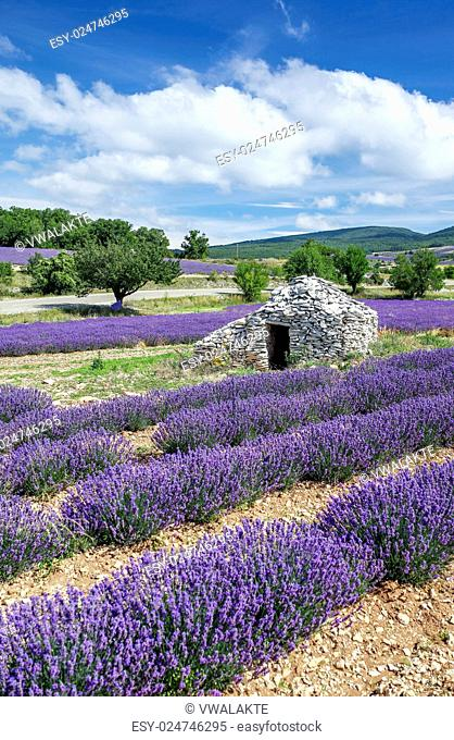 View of Lavender field and blue sky, France
