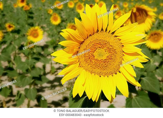 Colorful sunflower plantation with vibrant yellow flowers